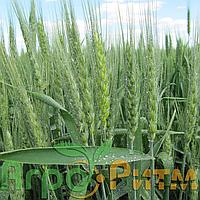 Озима пшениця Шестопалівка Єліта