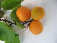 Крымский Амур, Crimean Amur саженцы абрикоса на подвое абрикос