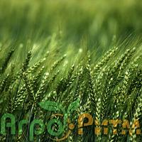 Озима пшениця Шпалівка Єліта