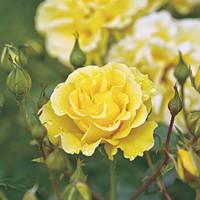 Троянда флорибунда Вестарт