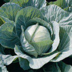 Семена капусты б/к Фарао F1 (2500 сем.)