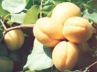 Костинский, Kostinsky саженцы абрикоса среднего срока созревания на подвое абрикос