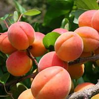 Нимфа, саженцы абрикоса раннего срока созревания на подвое абрикос