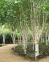 Берёза полезная/гималайская 'Doorenbos'; Betula utilis 'Doorenbos'