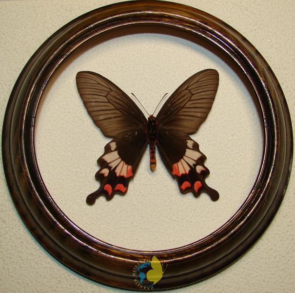 Сувенир - Бабочка в рамке Atrophaneura latreillei. Оригинальный и неповторимый подарок!