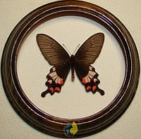 Сувенир - Бабочка в рамке Atrophaneura latreillei. Оригинальный и неповторимый подарок!, фото 1