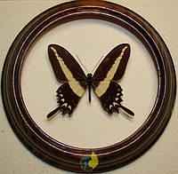 Сувенир - Бабочка в рамке Papilio hectorides m. Оригинальный и неповторимый подарок!