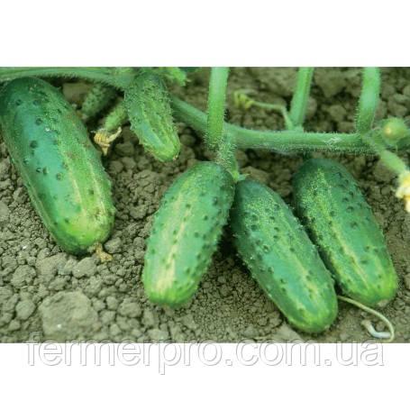 Семена огурца Темпеста F1 100 гр  Hazera