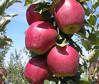 Саженец яблони Моди (Modi)