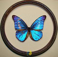 Сувенир - Бабочка в рамке Morpho rhetenor cacica m. Оригинальный и неповторимый подарок!, фото 1