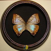 Сувенир - Бабочка в рамке Morpho sulkowskyi sulkowskyi f. Оригинальный и неповторимый подарок!, фото 1