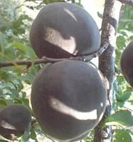 Мелитопольский черный, ДВУХЛЕТНИЕ саженцы абрикоса раннего срока созревания на подвое абрикос