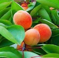 Джумбо Кот, Jumbo Cоt саженцы абрикоса среднего срока созревания на подвое абрикос