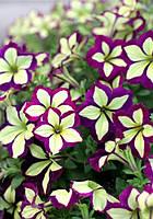 Открыт прием заказов на рассаду цветов из Европы
