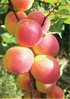 Энджой, Enjoy НЖА-19 ДВУХЛЕТНИЕ саженцы абрикоса среднего срока созревания на подвое абрикос New Jersey Americ