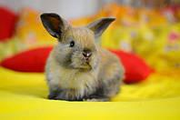 Декоративні кролики. Зміст, догляд, годування.