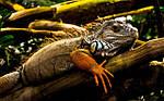 Игуана в домашних условиях. Содержание, уход, кормление, обращение с рептилией и ее приучение.