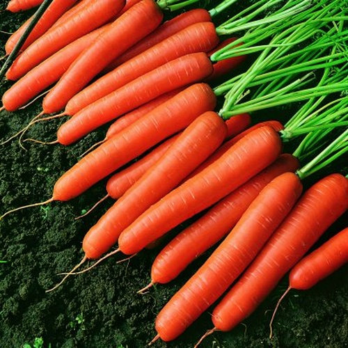 Семена моркови Темпо F1 100000 семян  Vilmorin