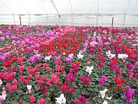 Технология выращивания цикламена в теплице