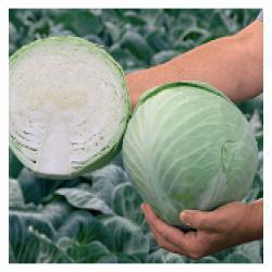 Семена капусты б/к Анкома F1 2500 сем. (калиброванные)