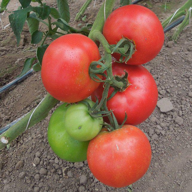 Насіння томату Аттія F1 (1000 сем.) Rijk Zwaan