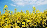 Семена рапса Аляска - глифосат Seed Grain