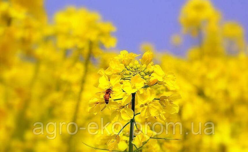 Семена рапса Сорт Квебек - глифосат Seed Grain