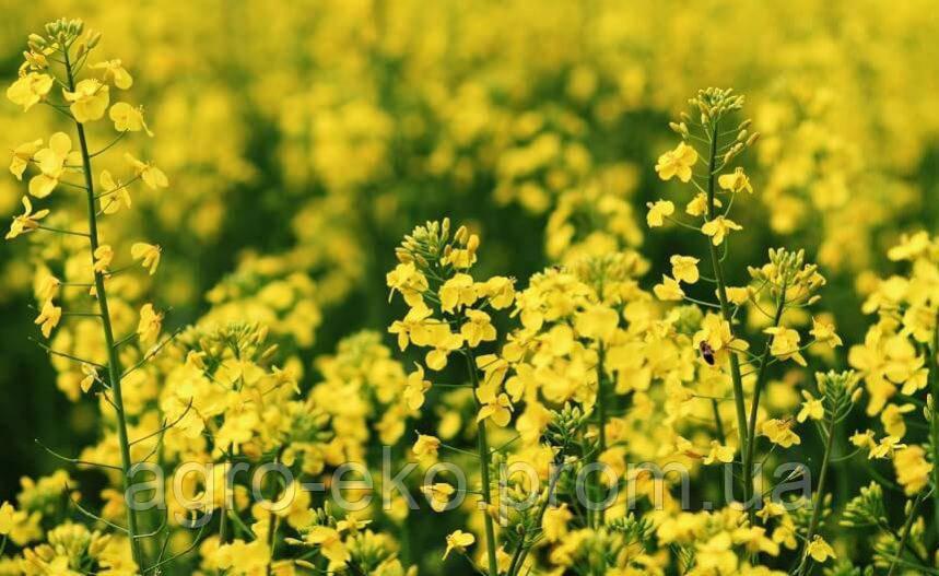 Семена рапса Онтарио - глифосат Seed Grain