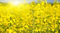 Семена рапса Гибрид Моравия - Чешская селекция