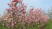 Магнолия гибридная 'Heaven Scent'; Magnolia 'Heaven Scent'