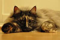 Сибирская кошка. Содержание, уход, кормление.