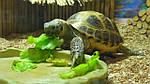 Сухопутные черепахи. Содержание и уход, питание.