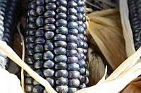 Кукуруза Hopi blue, фото 1