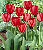 Тюльпан Red Impression