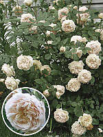 Роза английская Джинджер Сілабаб (Ginger Syllabub)