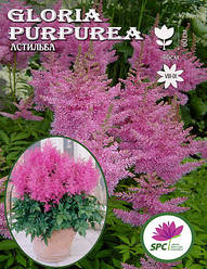 Астильба Gloria Purpurea