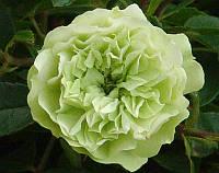 Роза Green Ice (Зеленый лед)