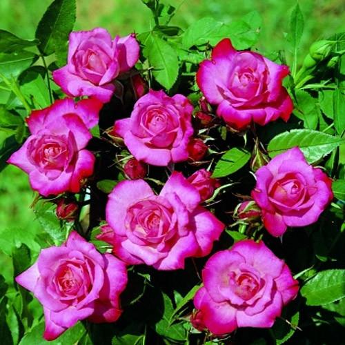Роза миниатюрная Пиппи