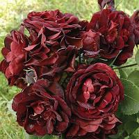 Роза флорибунда Маликорн