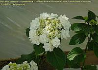 Гортензия крупнолистная Wedding Gown/Dancing Snow (свадебное платье) махровая 2год, фото 1