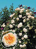 Роза английская Перпешуали Йорс (Perpetually Yours)
