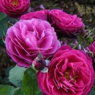 Роза бордюрная Маргарита