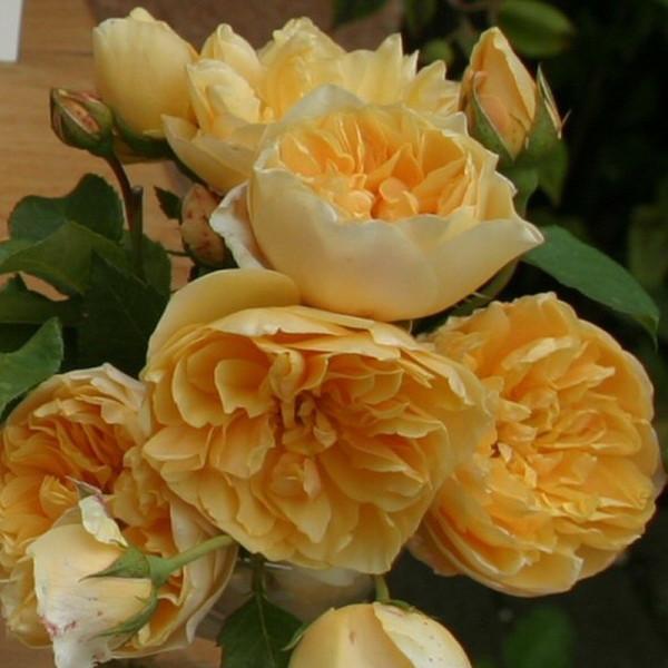 Роза плетистая Голден Флис