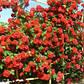 Роза плетистая Майнтауэр, фото 2