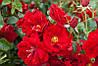 Роза почвопокровная Аустриана