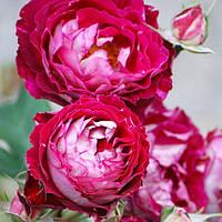 Роза плетистая Бель де Сегоза