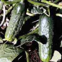 Семена огурца Караоке F1 (250 сем.)
