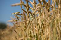Жнива-2018: Ранні зернові зібрані з половини площ