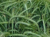 Семена озимого тритикале Шаланда