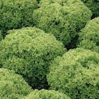 Семена салата Левистро (1000 драже)